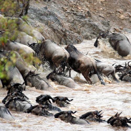 antylopy gnu przeprawiają się przez rzekę
